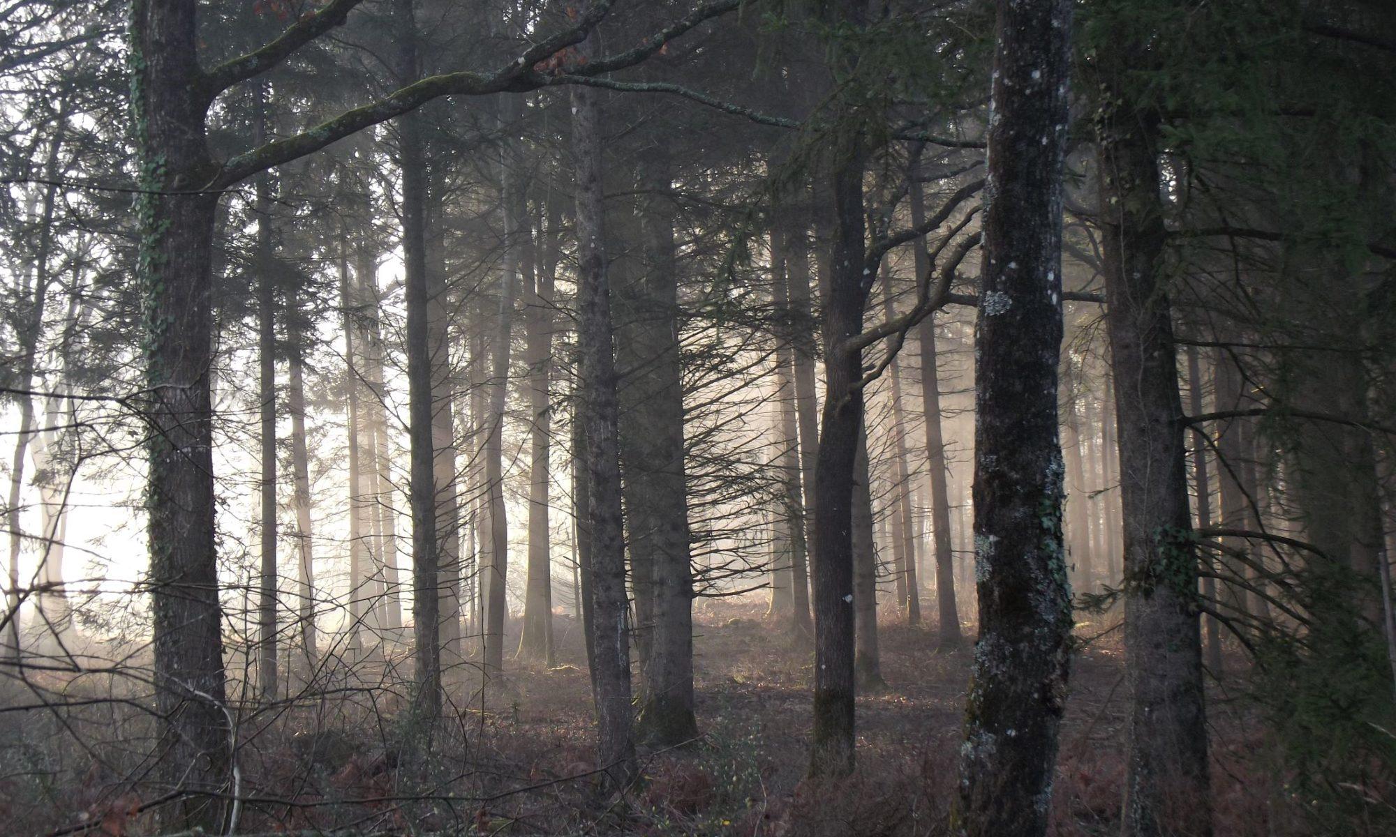 une forêt un matin brumeux